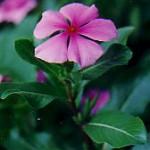Bunga Tapak Dara Untuk Obati Leukimia