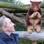 Pasangan Australia 10 Tahun Lestarikan Kangguru Pohon di Papua Nugini