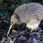 Temuan Baru: Burung Kiwi Mungkin Berasal dari Australia
